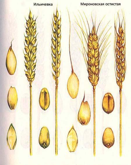Короткостебельные сорта озимой пшеницы: Ильичевка; Мироновская остистая