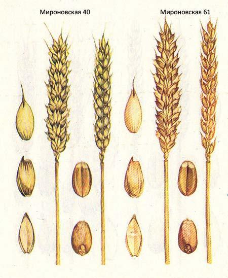 Короткостебельные сорта озимой пшеницы: Мироновская 40; Мироновская 61