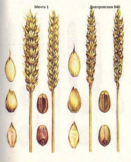 Короткостебельные сорта озимой пшеницы: Мечта 1; Днепровская 846