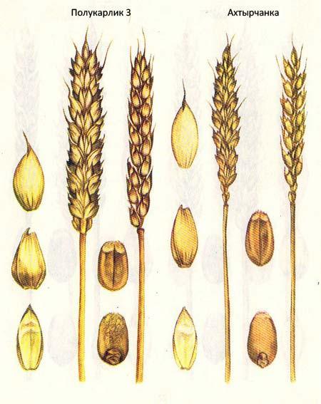 Короткостебельные сорта озимой пшеницы: Полукарлик 3; Ахтырчанка