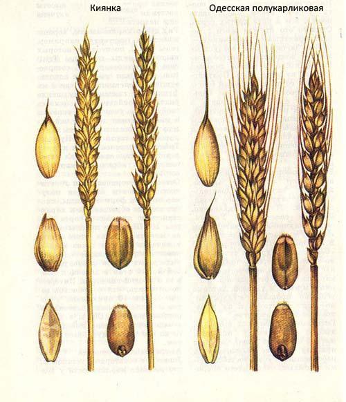 Полукарликовые сорта озимой пшеницы: Киянка; Одесская полукарликовая