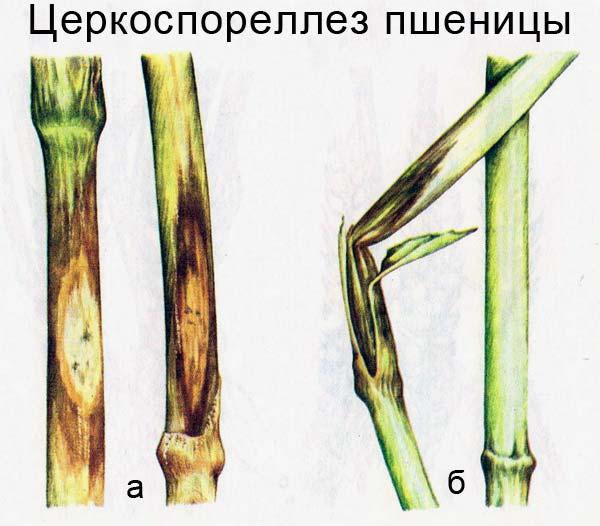Церкоспореллез пшеницы: а) характерны эллипсовидные пятна на нижней части стебля; б) надламывание стебля