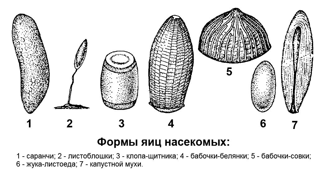 Формы яиц насекомых