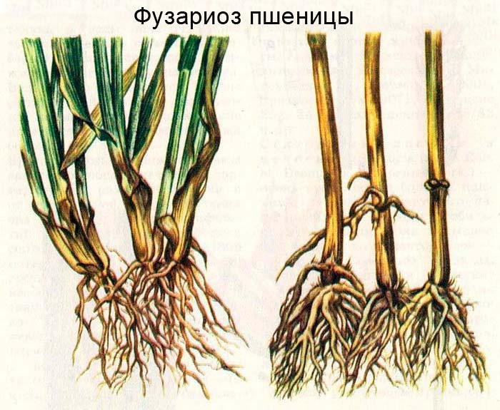 Фузариоз пшеницы: внешний вид поражения листовых влагалищ (слева) и основания стеблей (справа)