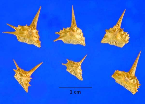 Якорцы стелющиеся - семена — Tribulus terrestris
