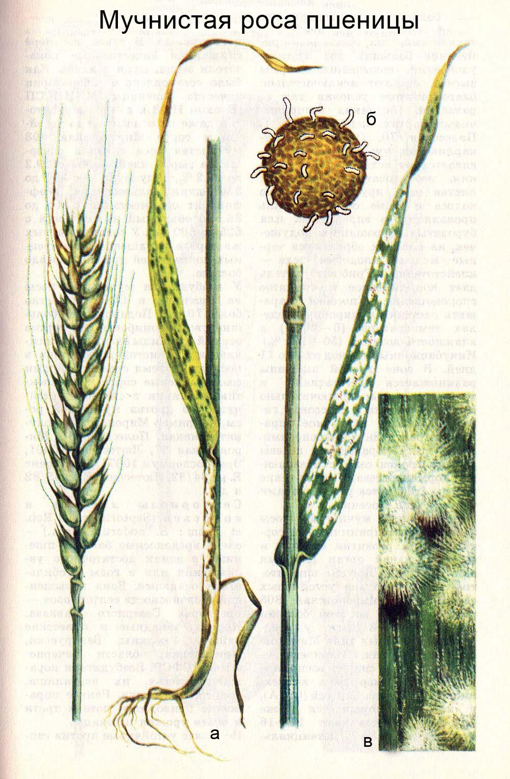 Мучнистая роса пшеницы: а) пораженные листья, их влагалища, колос; б) клейстотеций; в) увеличенное конидиальное спороношение гриба