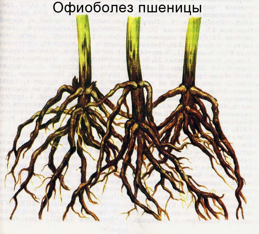 Офиоболез пшеницы. Загнившые корни отмирают, нарушаются опорная и проводящая функции стебля