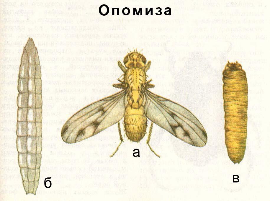 Опомиза пшеничная: а) взрослое насекомое; б) взрослое насекомое; в) ложнококон