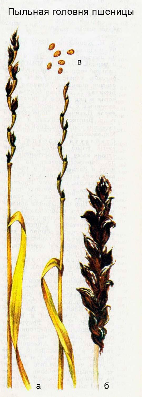 Пыльная головня пшеницы: а) колосья, разрушенные болезнью; б) пылящий пораженный колос; в) телиоспоры гриба