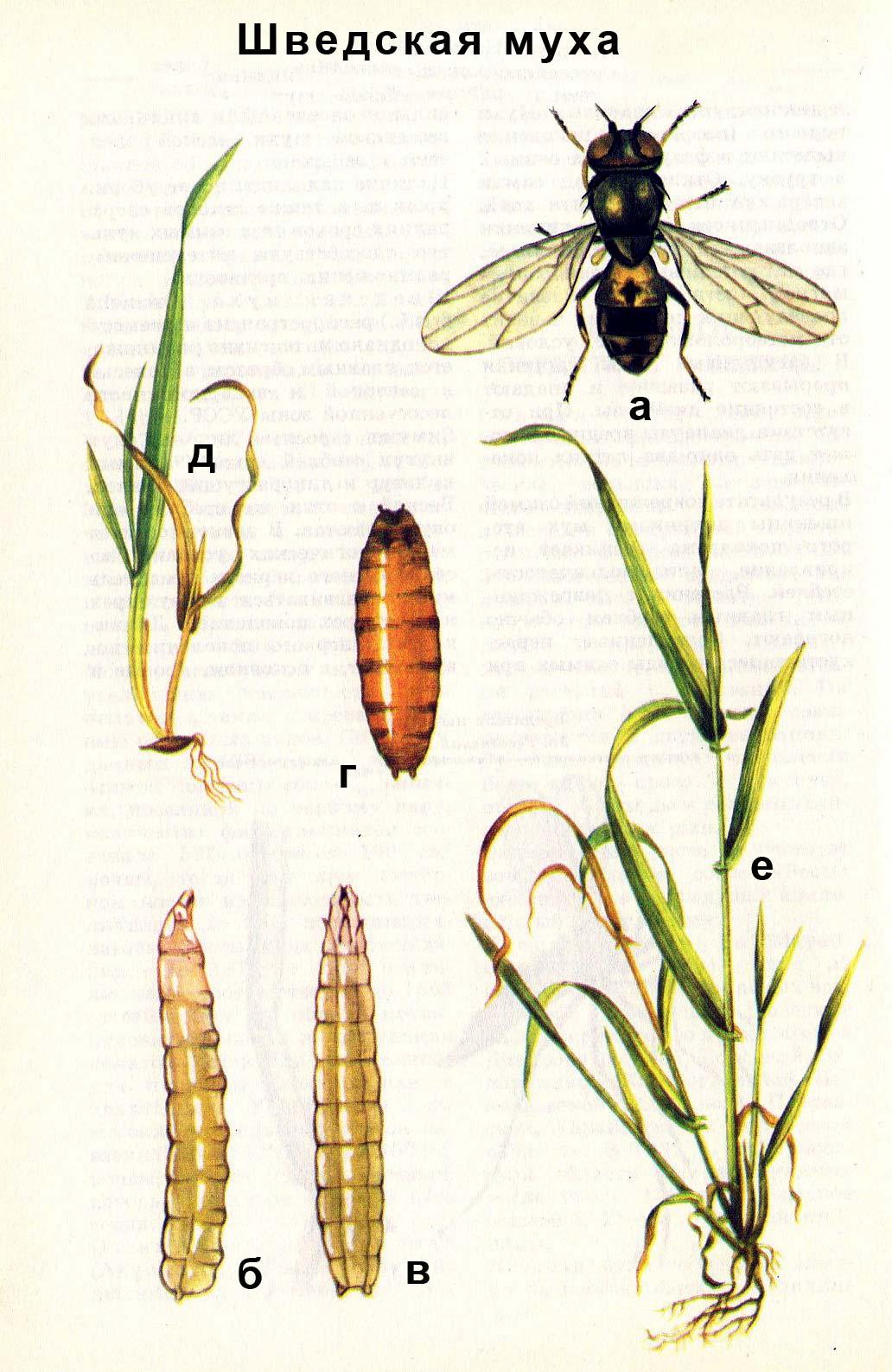Шведская муха: а) взрослое насекомое; б) личинка сбоку; в) личинка сверху; г) ложнококон; д, е) повреждения растения