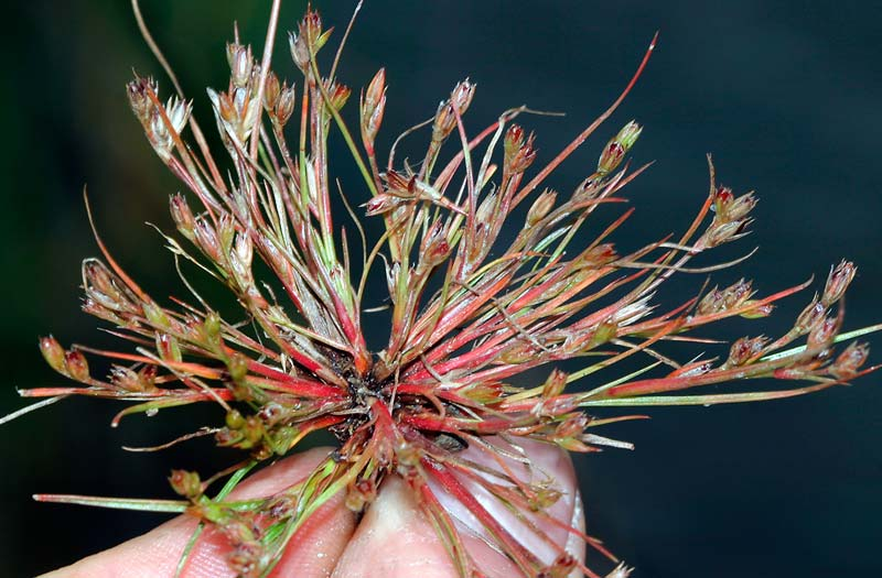 Ситник лягушачий (жабий) — Juncus bufonius