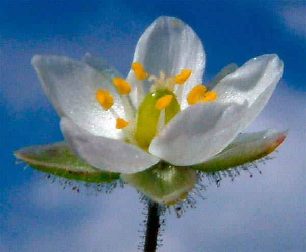 Торица полевая — Spergula arvensis