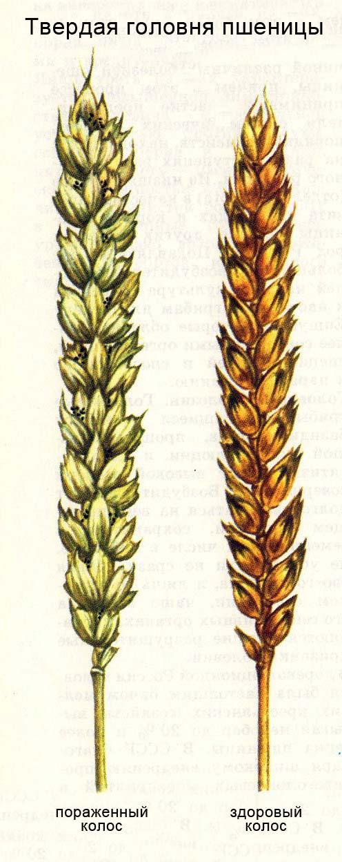 Твердая головня пшеницы - колосья: пораженный и не пораженный
