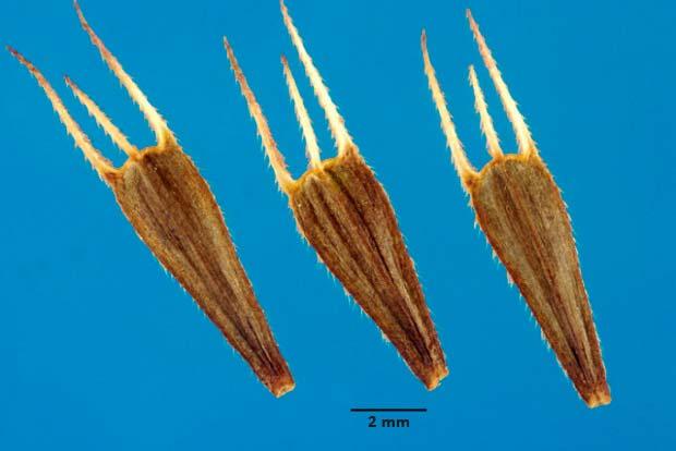 Семена череды трехраздельной — Bidens tripartita