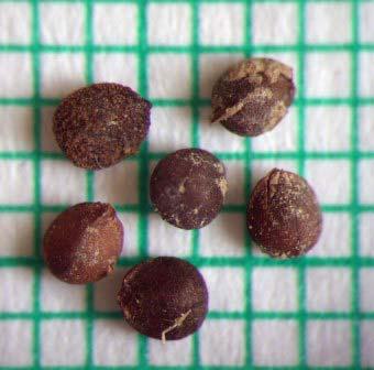 Чистец однолетний - семена — Stachys annua
