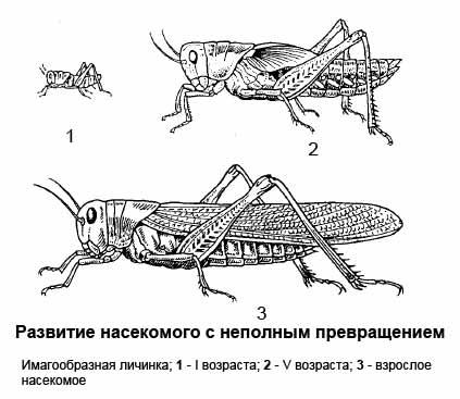 Развитие насекомого с неполным превращением