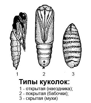 Типы куколок насекомых