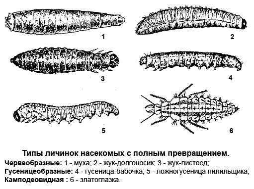 Типы личинок насекомых с полным превращением