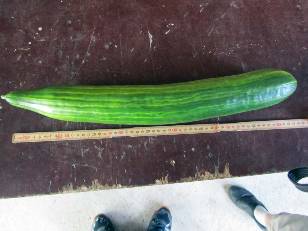 Огурец длиной 54 см (выращенный в теплице)