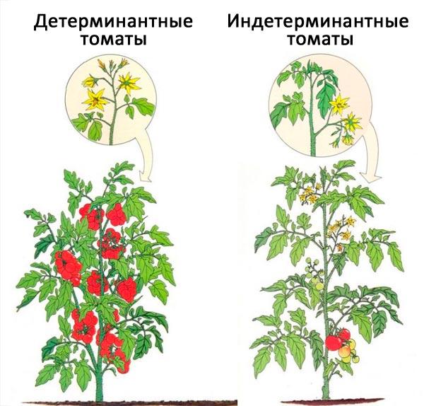 Детерминантные и индетерминантные томаты