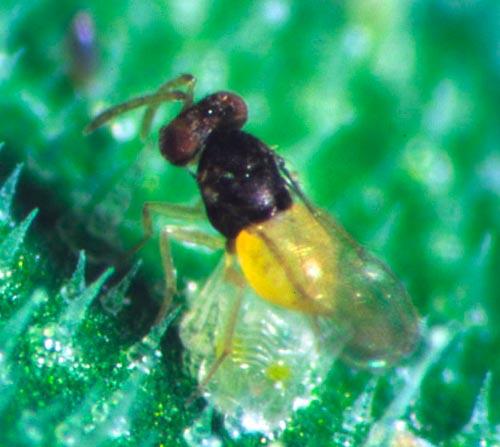 Энкарзия - Encаrsia formosa (Откладка яиц)
