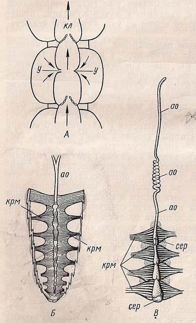 Кровоносна система комахи