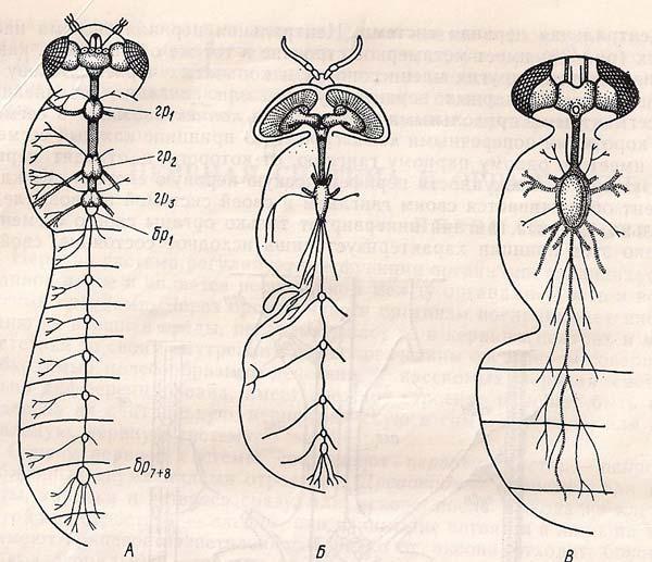 Нервова система комахи