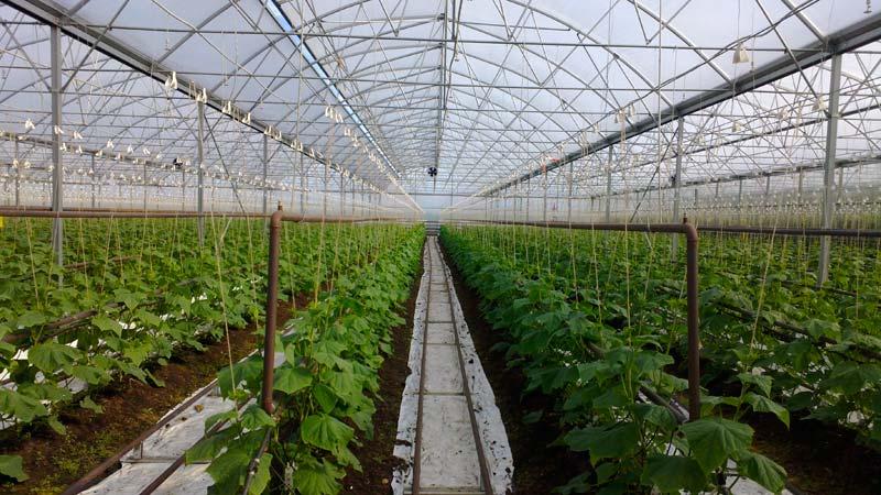 Выращивание огурцов в зимней теплице как бизнес 94