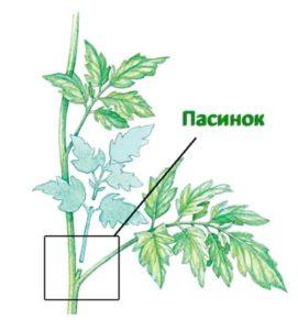 Пасынок на растении томата