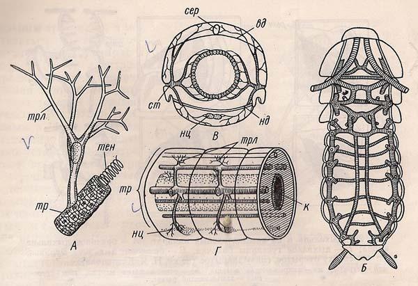 Система дихання комахи