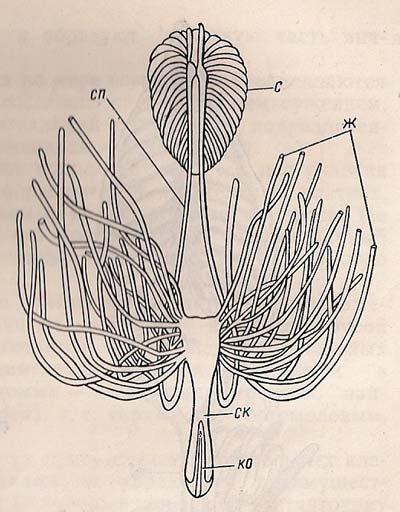 Статева система комахи