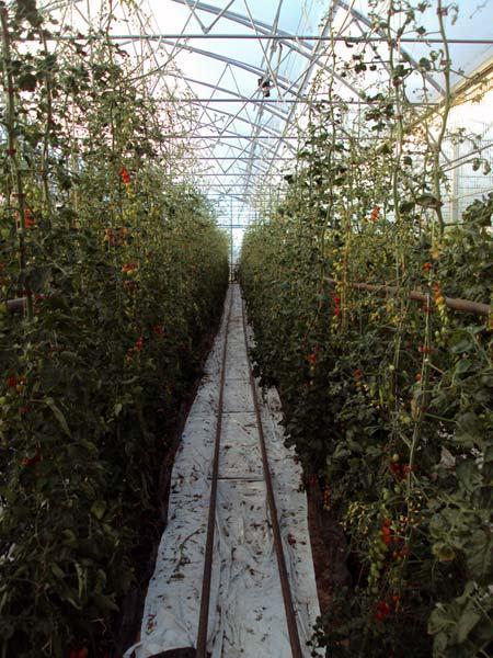 Выращиваие томатов в теплице