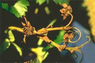 Антракноз соцветий клубники