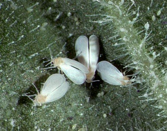Белокрылка земляничная или алейродид земляничный – Aleurodes fragariae