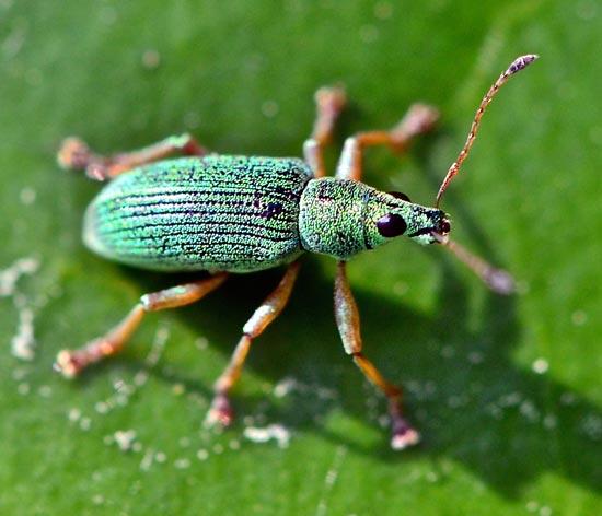 Крапивно-листовой долгоносик – Phyllobius urticae