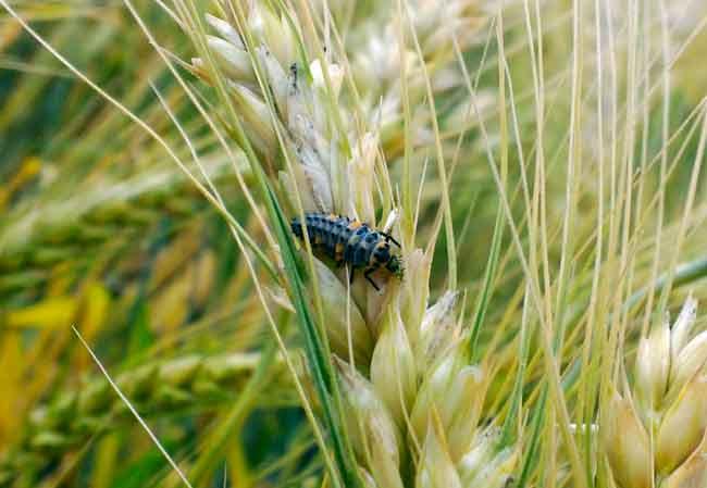 Личинка семиточечной божьей коровки
