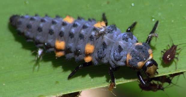 Семиточечная коровка - личинка