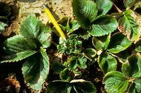Симптомы поражения земляничной нематодой – Aphelenchoides Fragariae