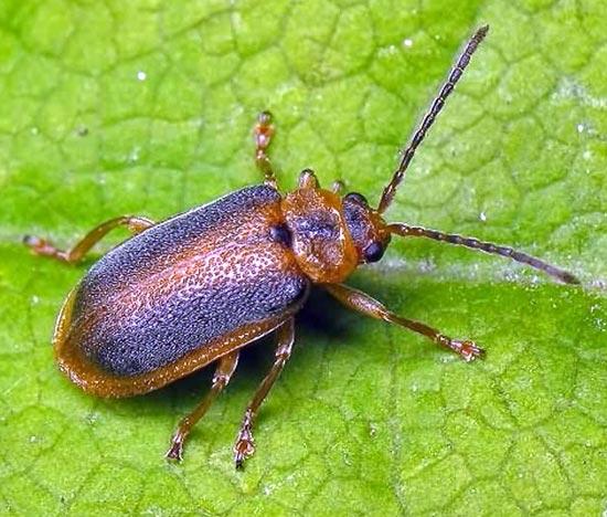 Земляничный листоед – Galerucella Tenella