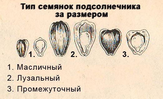 Тип семянок подсолнечника