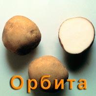 Картофель Орбита