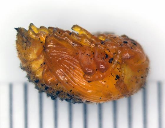 Колорадский жук (куколка) – Leptinotarsa Decemlineata