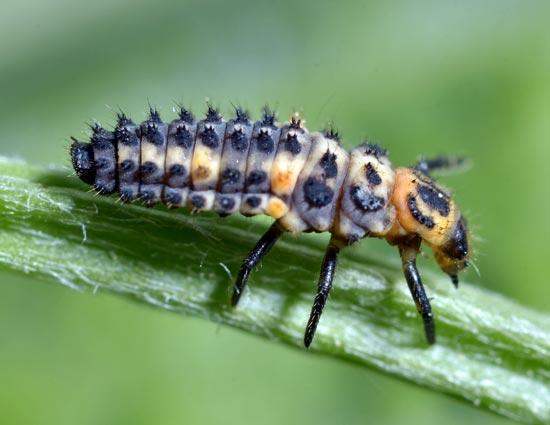 Коровка изменчивая (личинка) – Adonia variegata