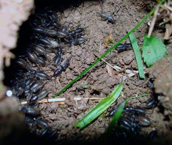 Нимфы медведки обыкновенной (Gryllotalpa gryllotalpa Linnaeus)
