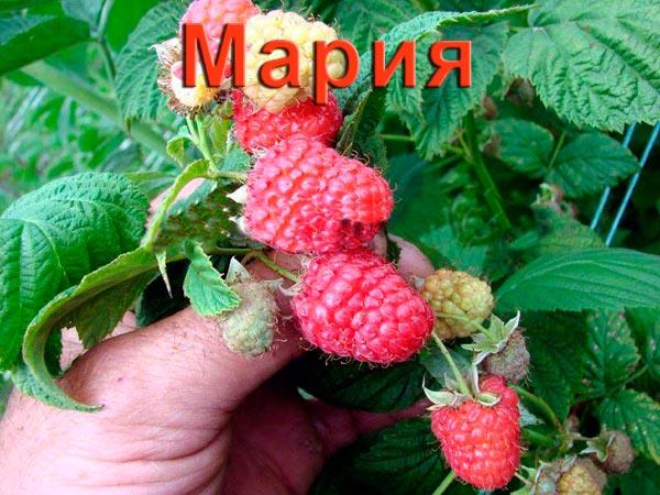 Малина Мария