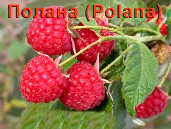 Малина Полана