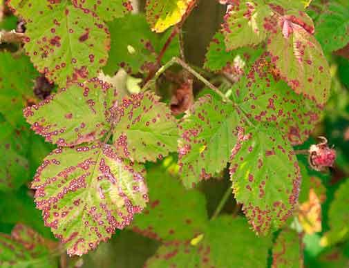 Антракноз малины (пораженные листья) - Elsinoe veneta