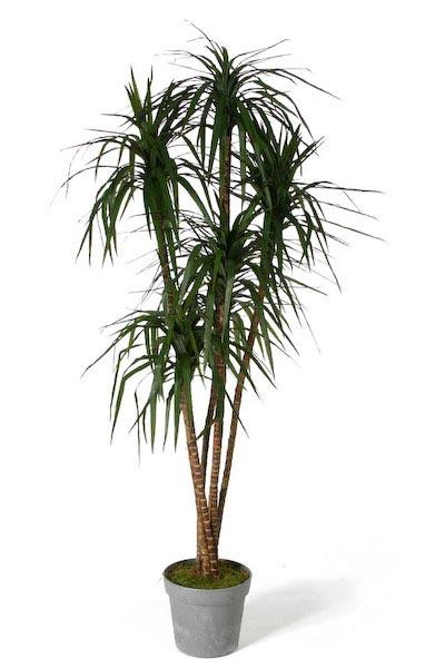 Драцена маргината или окаймленная (Dracaena marginata)