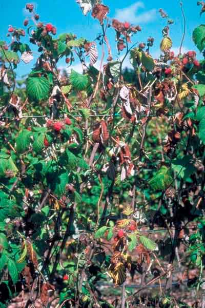 Корневая гниль малины - Phytophthora cactorum