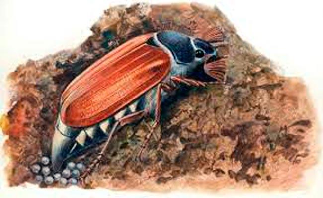 Майский жук (откладывание яиц) - Melolontha melolontha